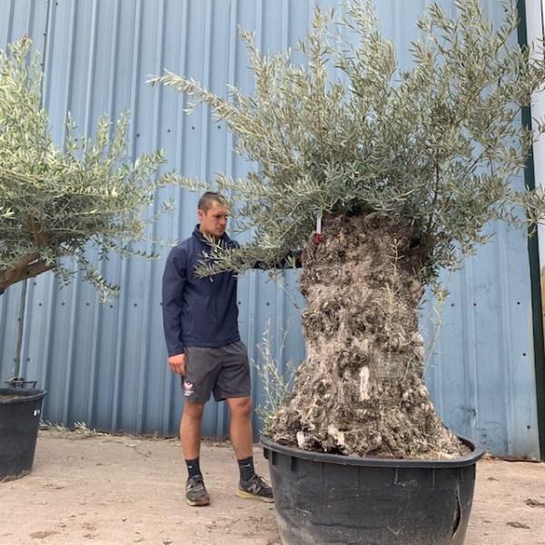 Olive Tree Specimen D43