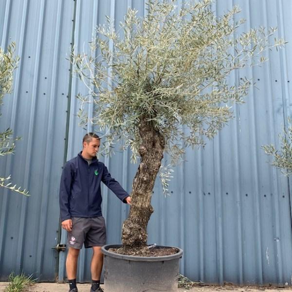 Olive Tree Specimen L31