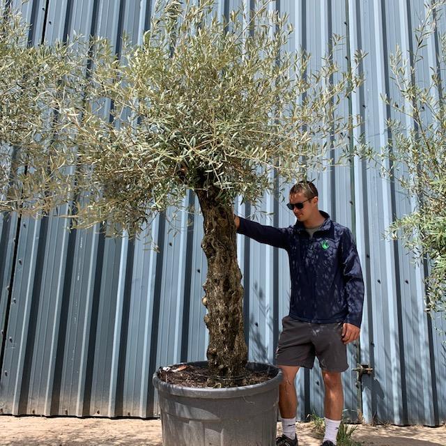 Olive Tree Specimen L33