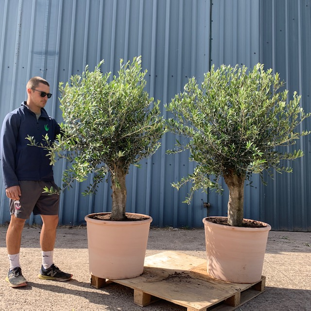 Olive Tree Specimen Pair potted in Terracotta L537