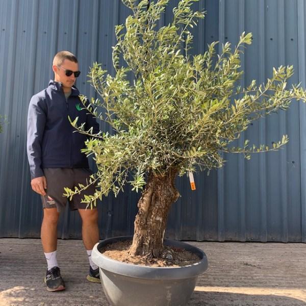 Olive Tree Specimen L598