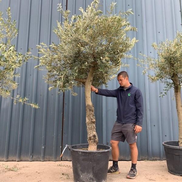 Olive Tree Specimen L628