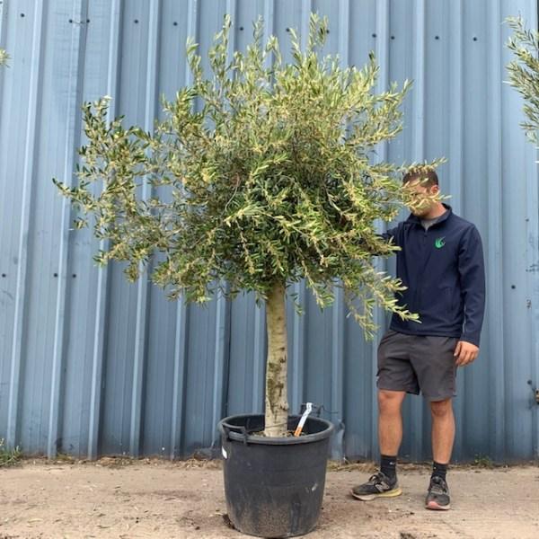 Olive Tree Specimen L630