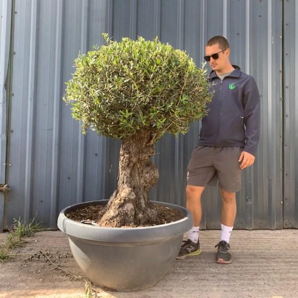 Olive Tree Specimen L641