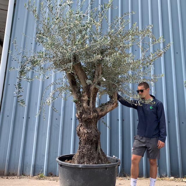 Olive Tree Specimen L7