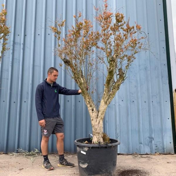 Hardy Pomegranate Specimen L755