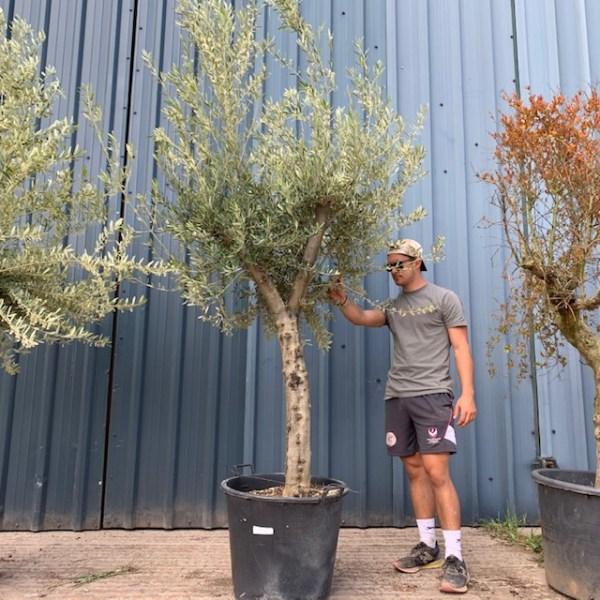Olive Tree Specimen L768