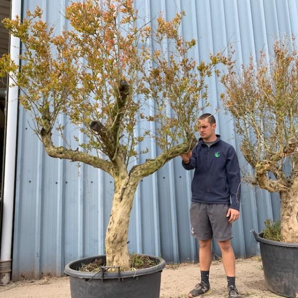 Hardy Pomegranate Specimen L797