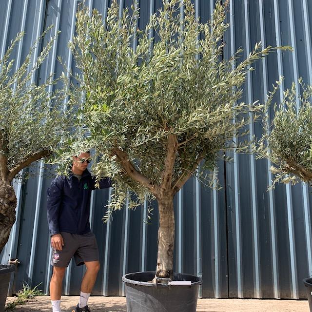 Olive Tree Specimen L896