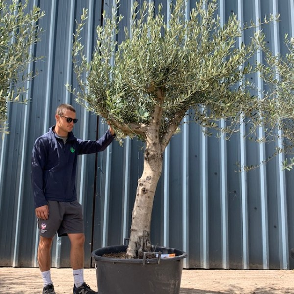 Olive Tree Collection L1017