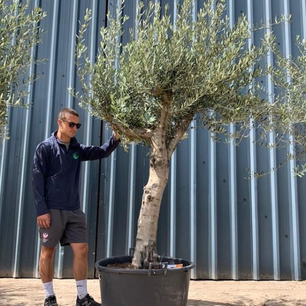 Olive Tree Specimen L900