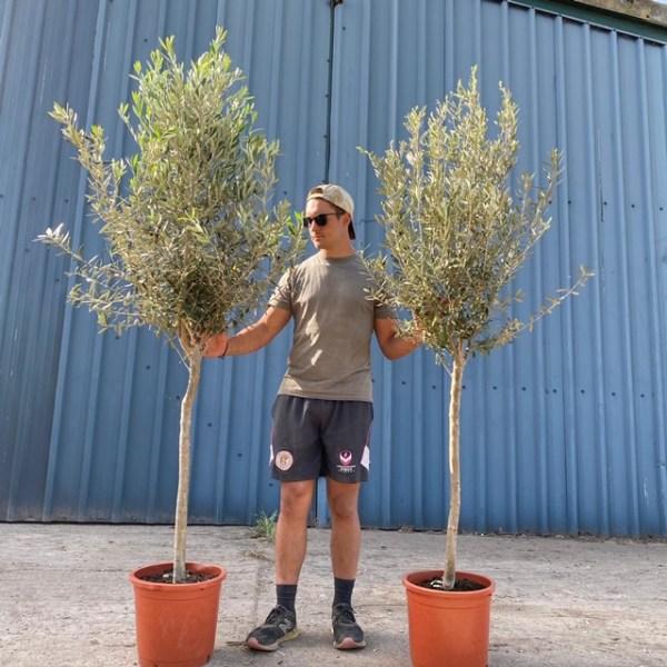 Olive Trees -  Lisbon Pair