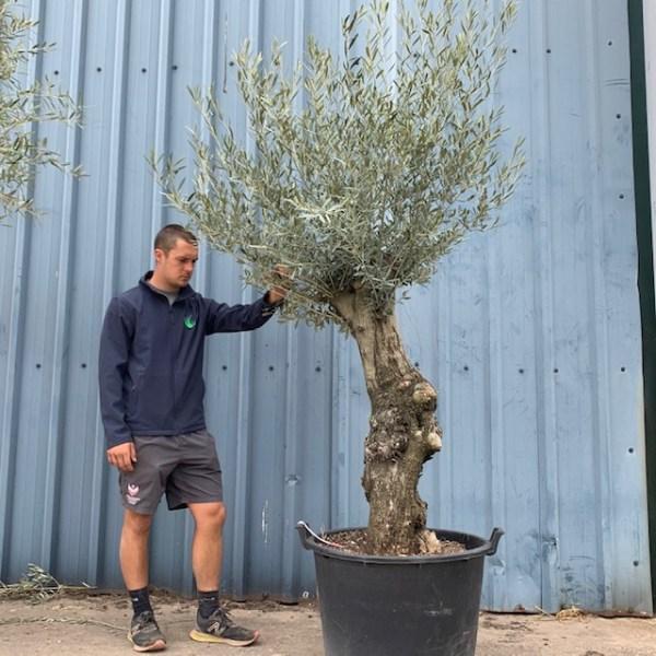 Olive Tree Specimen V143