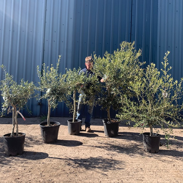 Collection of 5 Olive Trees  V67
