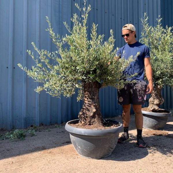 Olive Tree Specimen D65