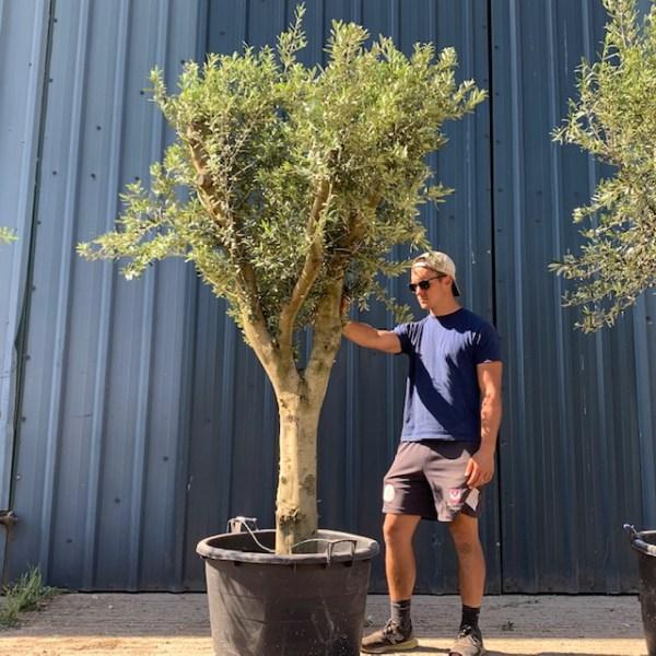 Olive Tree Specimen L121