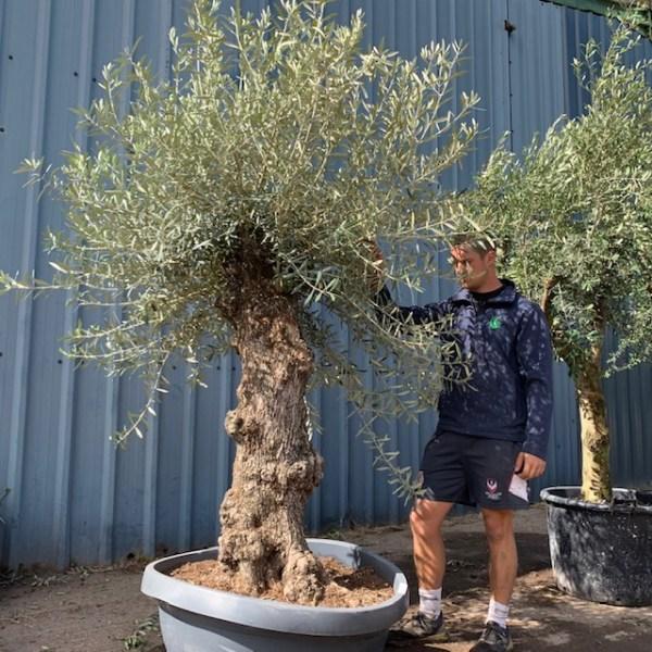 Olive Tree Specimen L1392
