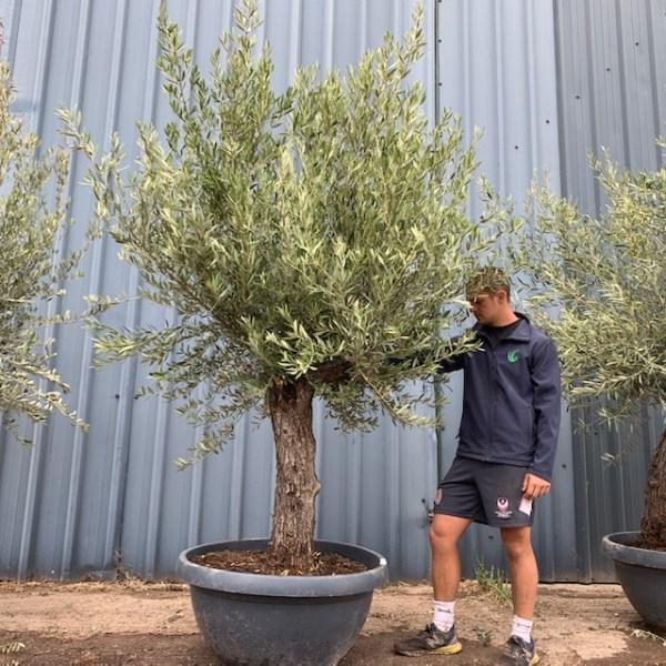 Olive Tree Specimen L1395