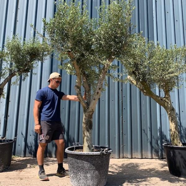 Olive Tree Specimen L444
