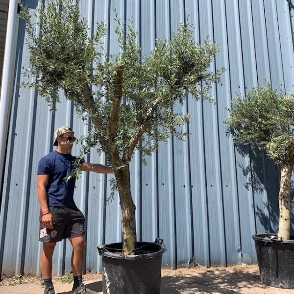 Olive Tree Specimen L791
