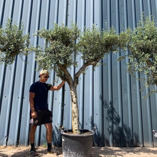 Olive Tree Specimen L895