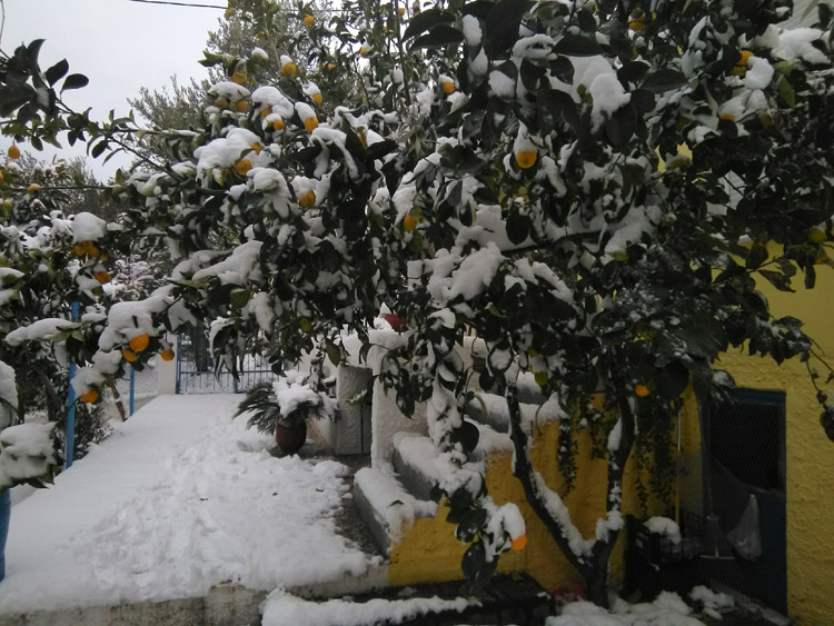 Snow-covered lemon trees