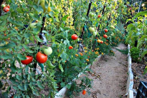 Βιολογικές ντομάτες στο κήπο μας