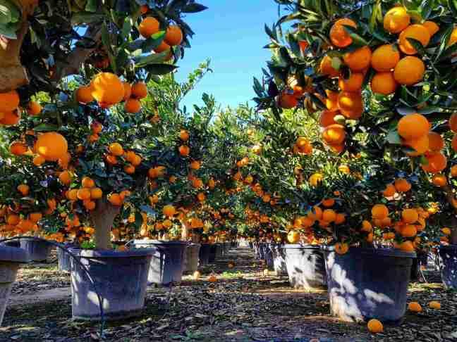 Apelsin-compressed