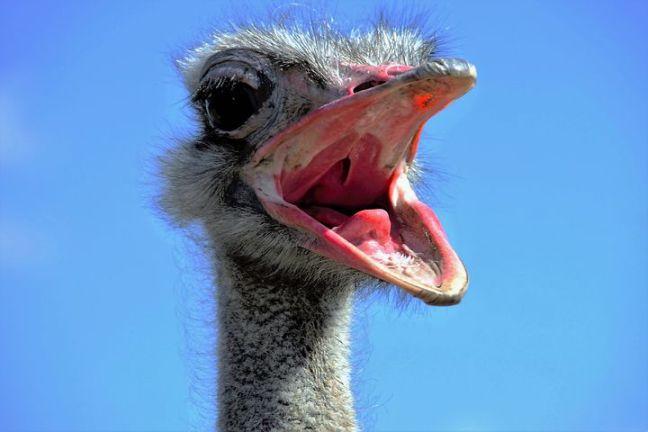 the-ostrich-1658267__480.jpg