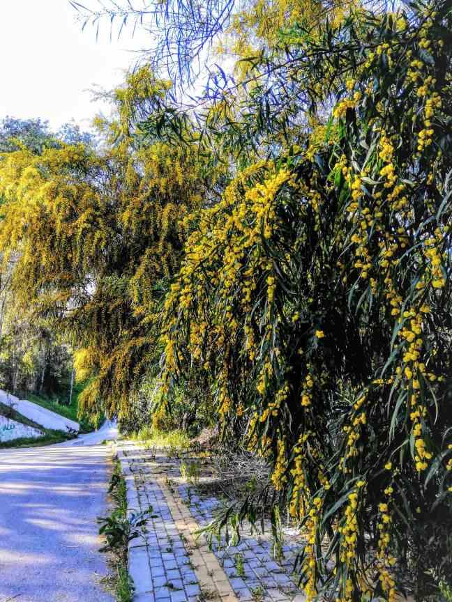 Mimosaträd
