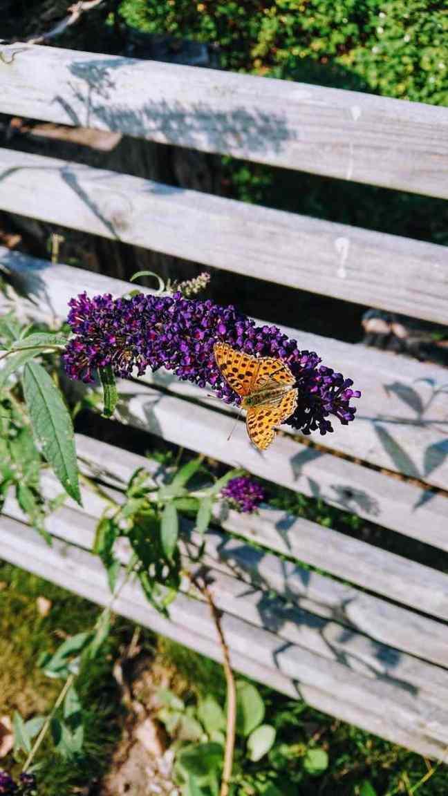 Fjärilsbuske med fjäril