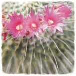cactusen flor 2