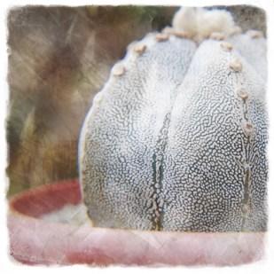 cactusenmaceta