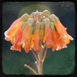 campanillas naranjas