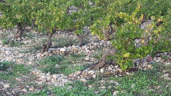 Vignes de Chateauneuf-du-Pape