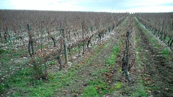 Terroir caillouteux planté de vignes