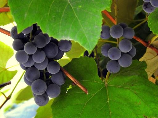 Baies de raisin couvertes de levures microscopiques