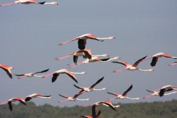 Les Flamants roses sur l'étang de Leucate Photo Serge Briez, Cap médiations pour vin4 heures tour