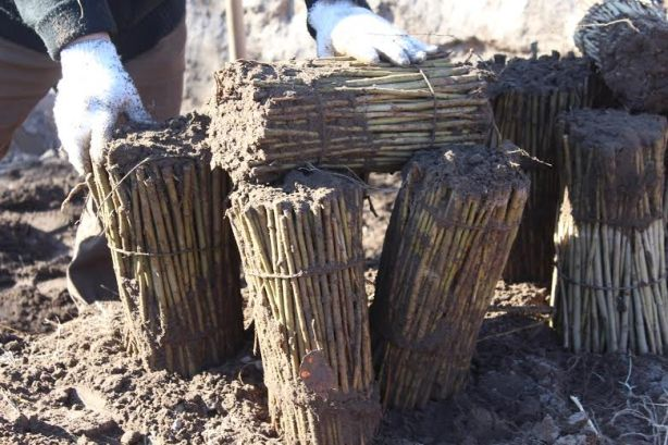 Resultado de imagen para estacas de alamos