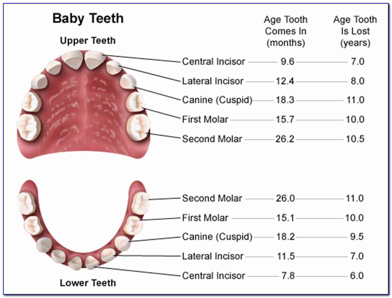 Human Teeth Diagram With Labels