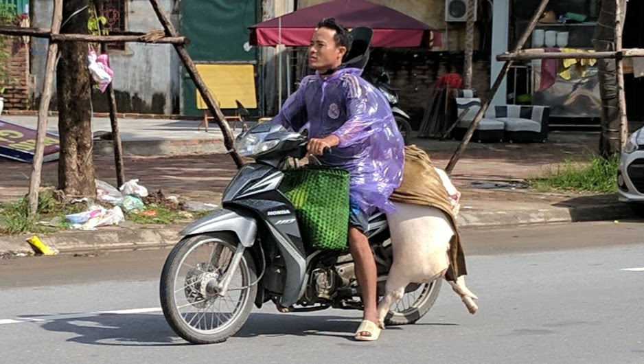 Man driving a motorbike with a dead pig on the back.