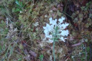 Pine Barrens & Native Orchids August 2015-06