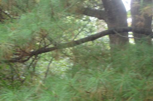 Witch's Broom White Pines, Mt. Cuba, October 2015-09