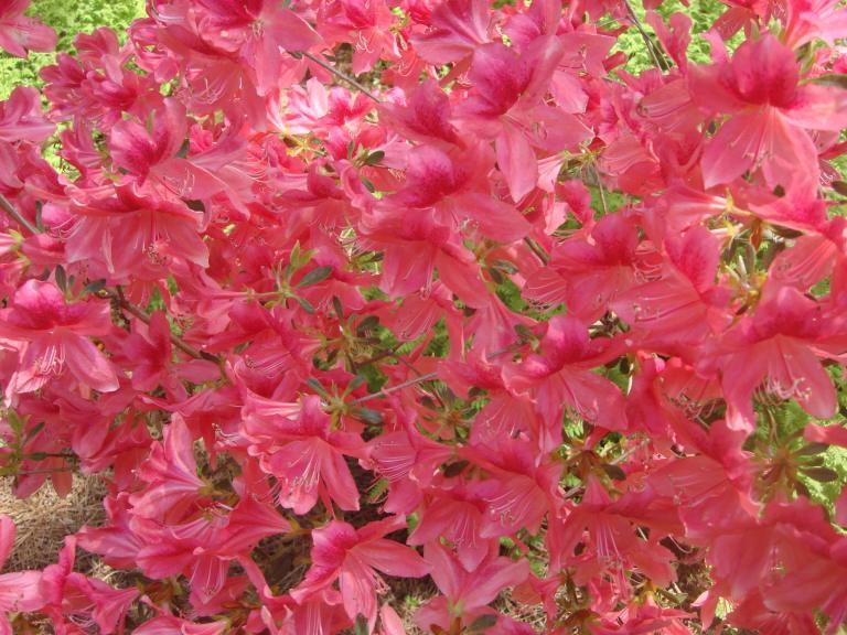 Winterthur's azaleas May 2013-12