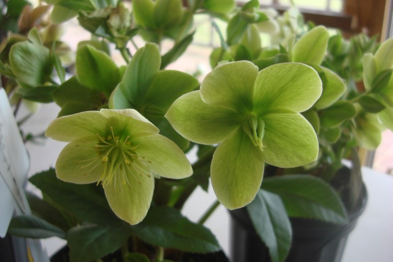 hellebores-winterthur-march-2016-3
