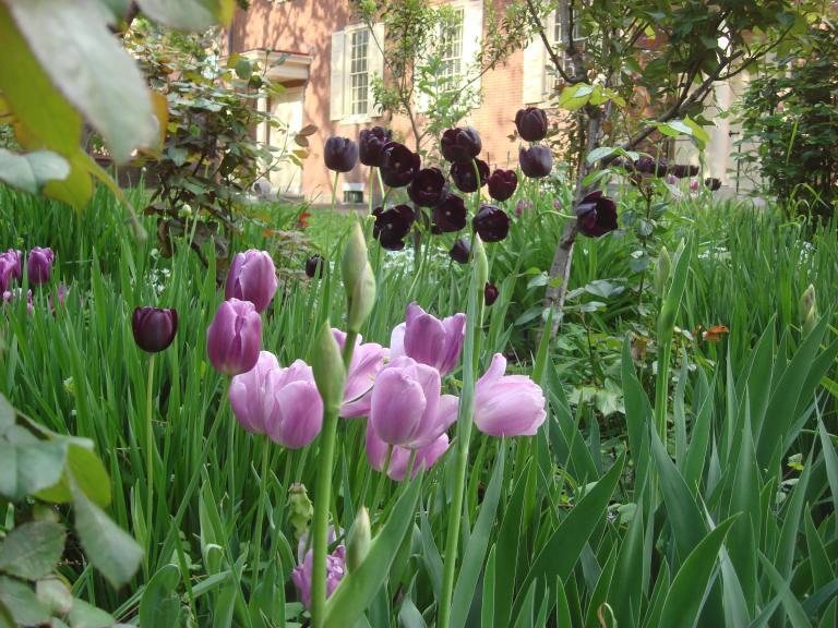 Tulips at the Quaker Meeting House, Old City, Philadelphia-2
