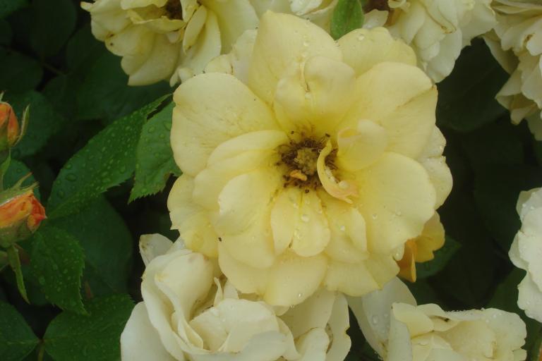 NY Botanical Gardens Bronx Roses Mid-June 2015-08