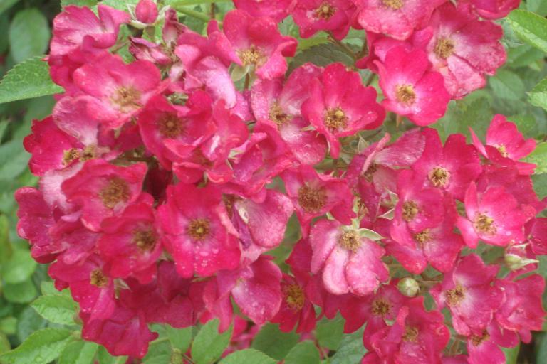 NY Botanical Gardens Bronx Roses Mid-June 2015-15
