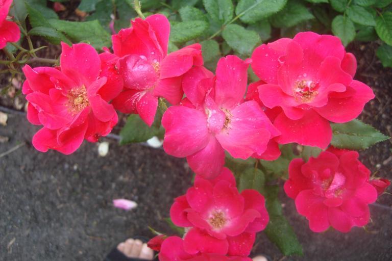 NY Botanical Gardens Bronx Roses Mid-June 2015-21