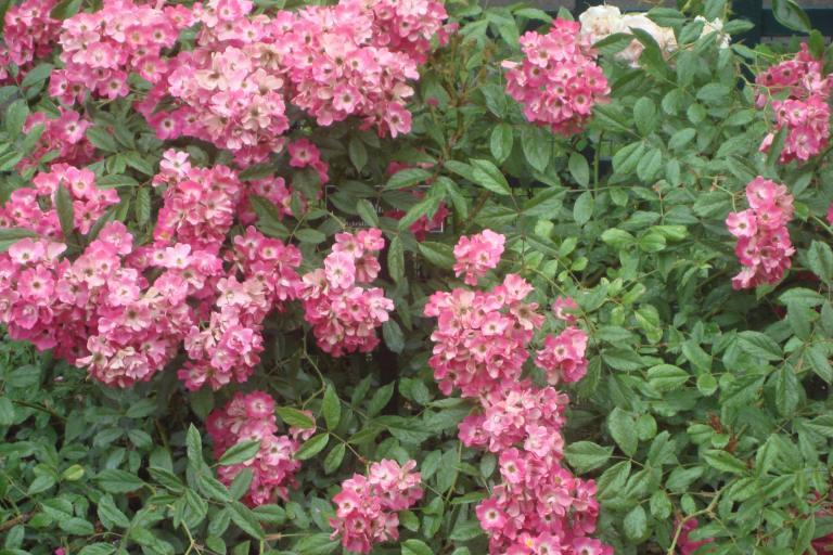 NY Botanical Gardens Bronx Roses Mid-June 2015-23